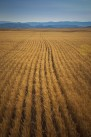 Wheat Montana Farm